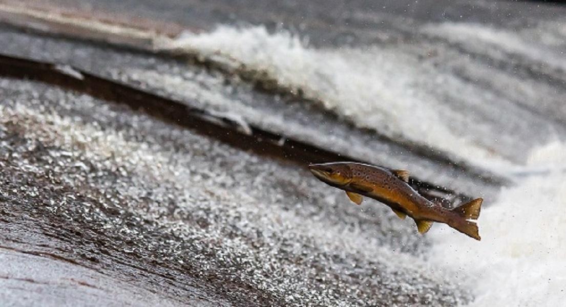 Omega-3 Levels Halved in Farmed Salmon