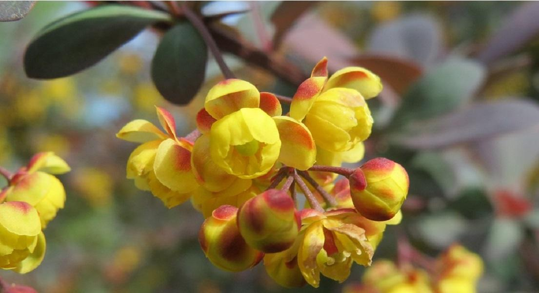 Berberine Benefits & Uses: Research Highlights