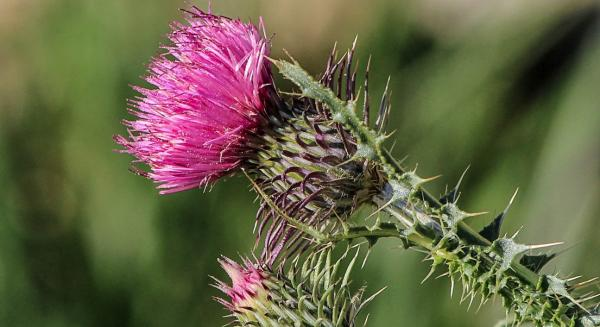 The Benefits Of Milk Thistle For Menopause Relief