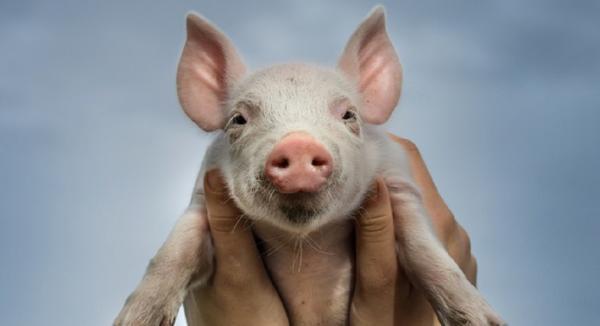 The Surprising History of Probiotics in Animals