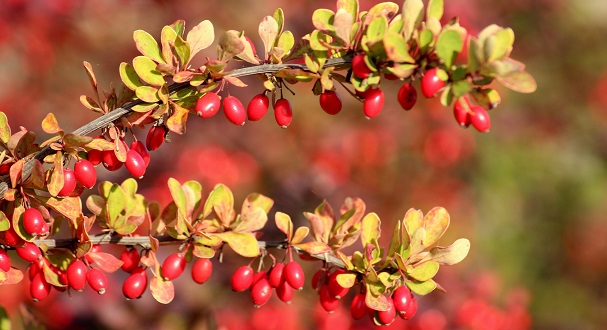 Is Berberine Effective In Improving Cardiometabolic Health?